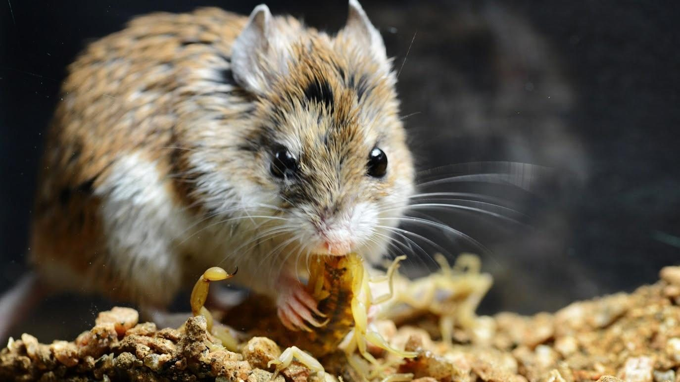 Image: Grasshopper Mouse eating a scorpion