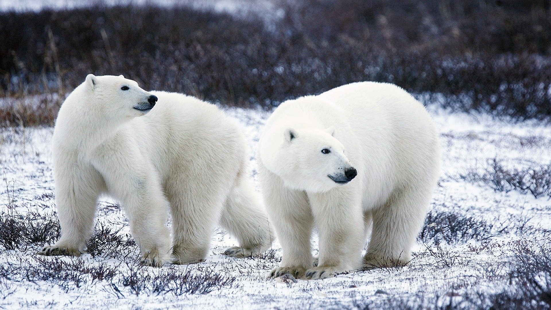 Image: Two polar bears