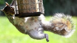 Image: Squirrel hanging off of a bird feeder