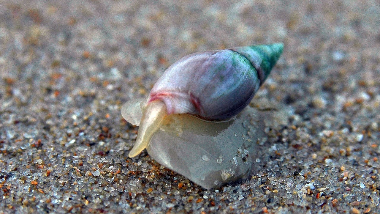 Image: Bulia digitalis snail on the sand