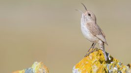 Image: Rock wren singing on a rock