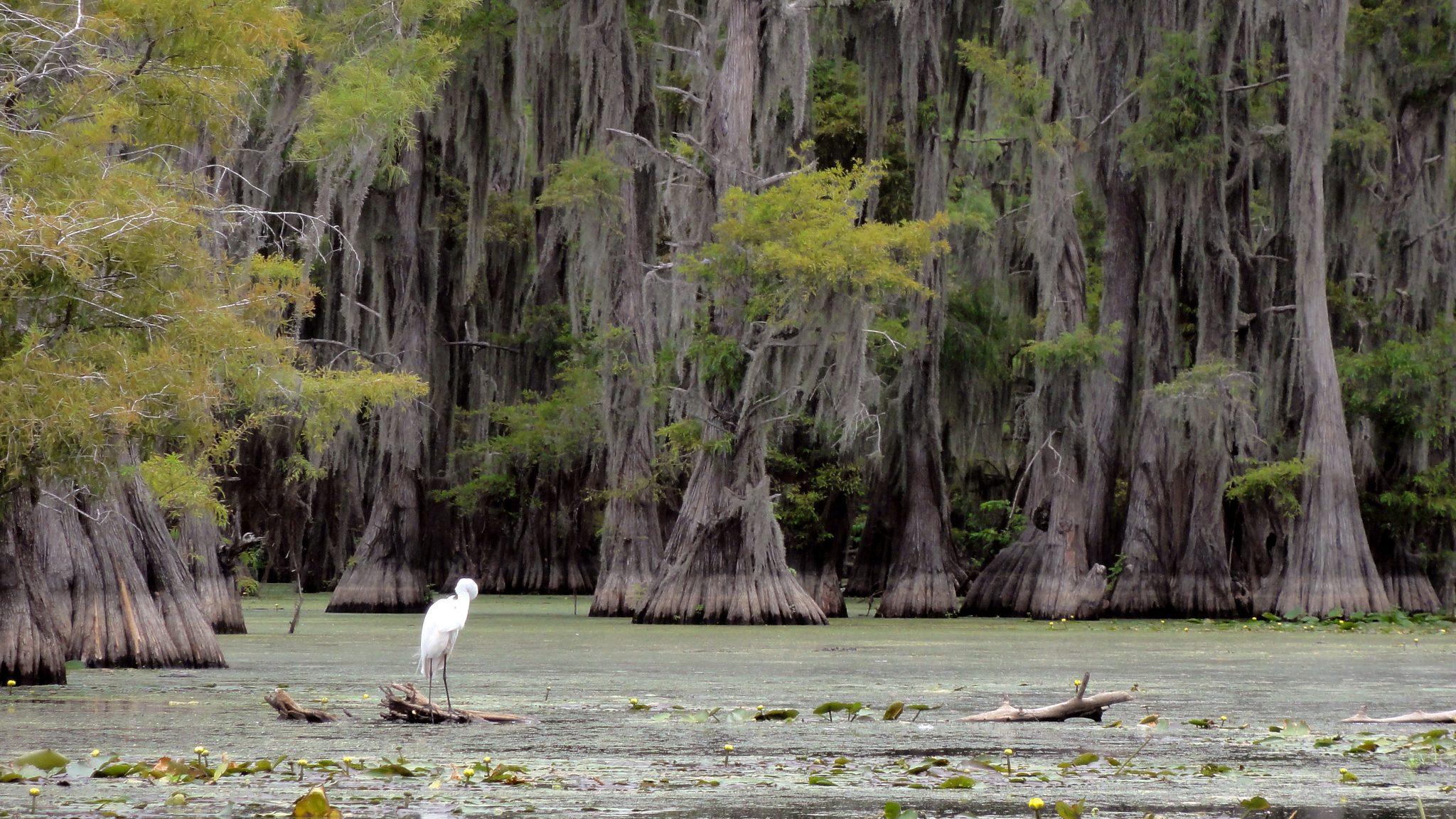 Image: White Egret on