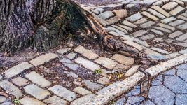 Image: Tree root growing through bricks in Central Park, New York City