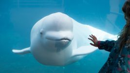 Image: Beluga peering at a childs hand on aquarium glass