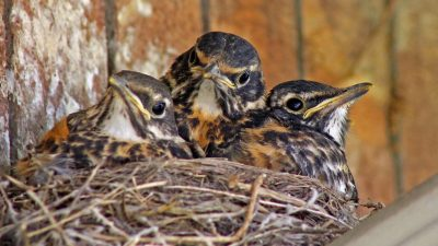 Image: Baby Robins in a nest