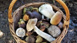 Image: a variety of wild-foraged mushrooms in a woven basket