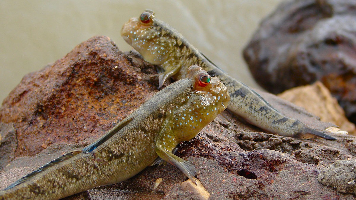 Image: Two mud skippers
