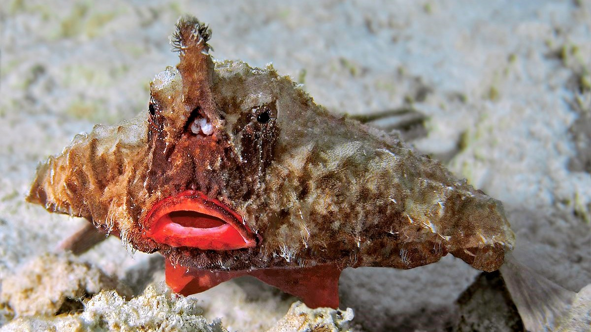 Image: A batfish. They are very hard to describe. It looks nothing like a bat nor a fish, more like a plane with lipstick.