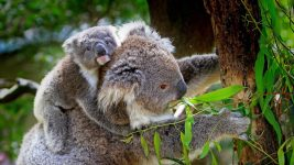 Image: Mother and baby koala climbing a tree
