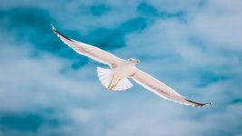 Image: Seagull flying with a blue sky in the background
