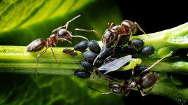Image: ants caring for ant cows (a.k.a. aphids)!