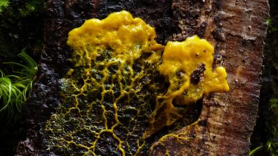 Image: slime mold traveling over a tree