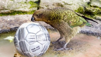 Image: a very curious kea checking out a soccer ball