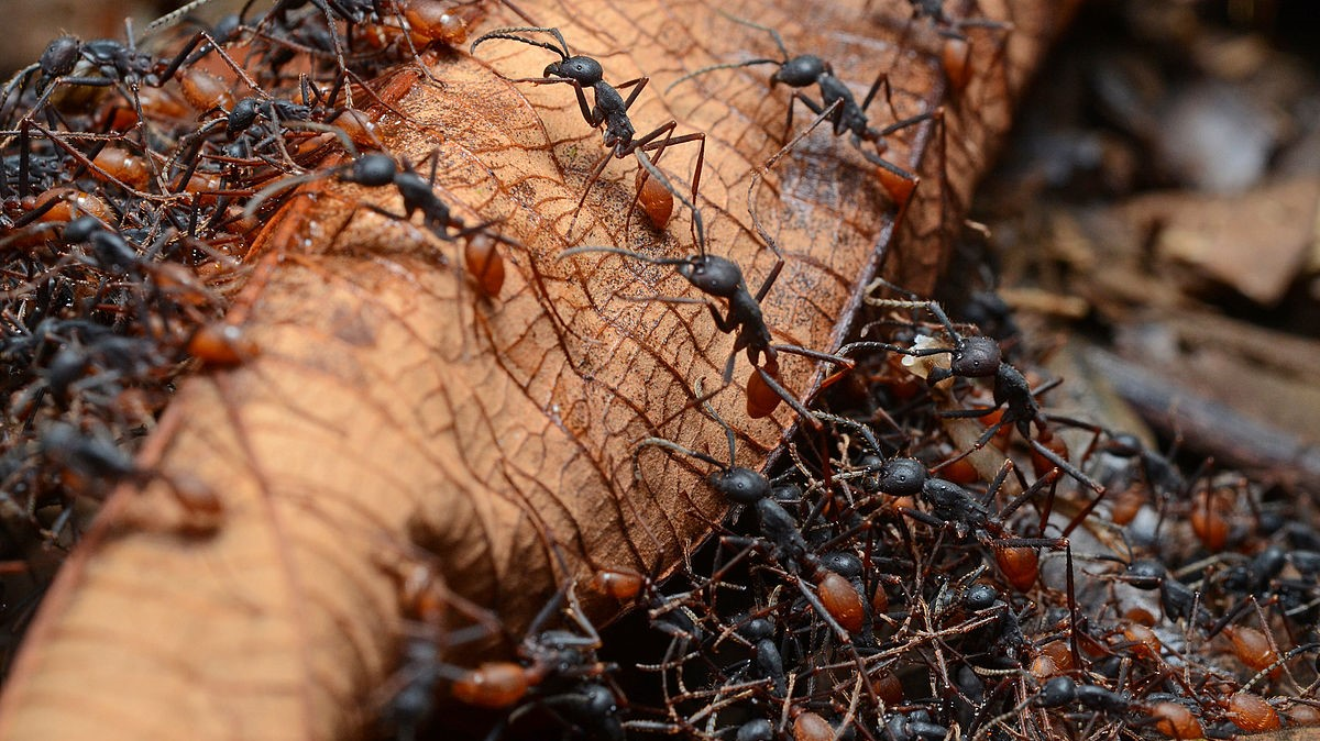 Image: army ants moving