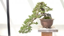 Image: Large bonsai