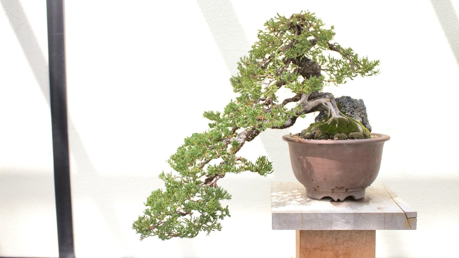 Image: Large bonsai