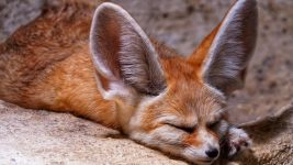 Image: Sleepy fennec fox