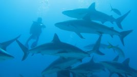 Image: diver swimming with reef sharks