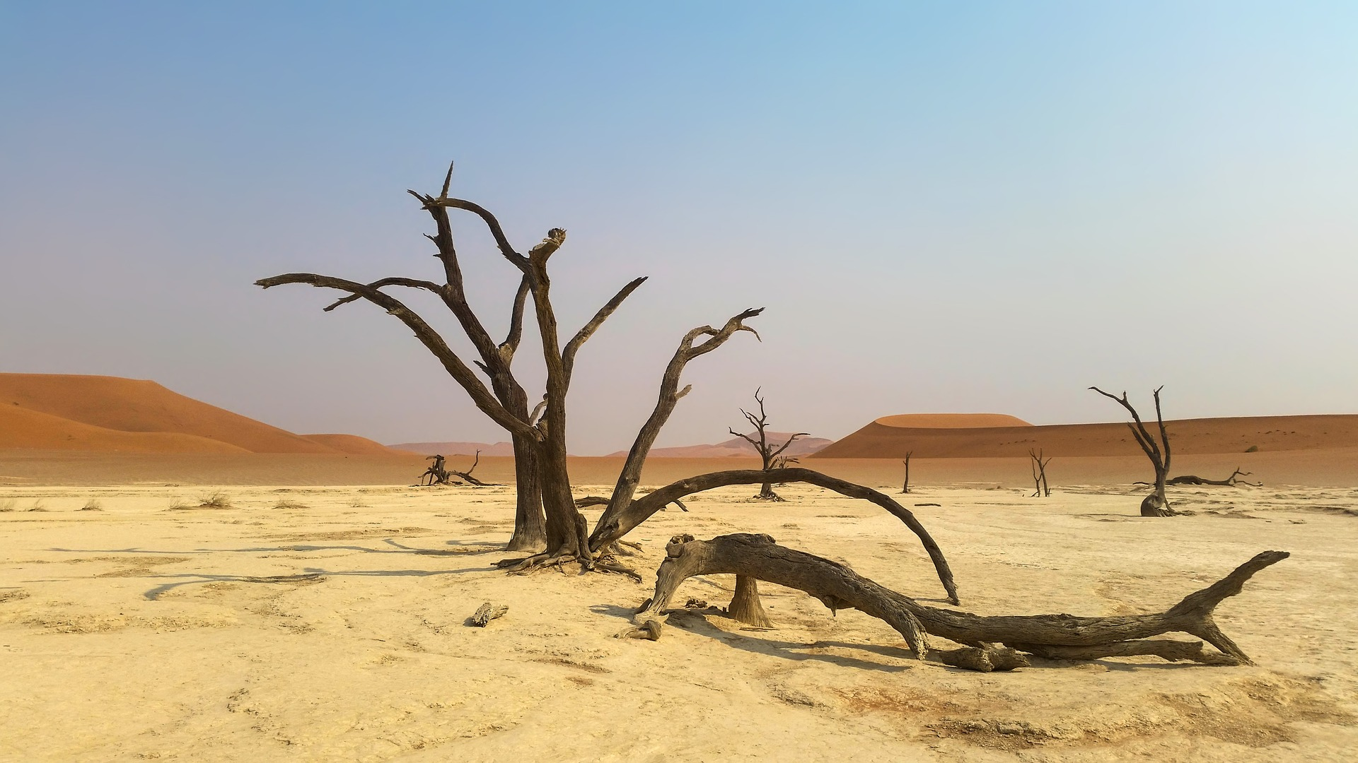 Image: Dry, dead tree in the middle of the sandy, desolate, Namib Desert