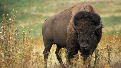 Source: Beautiful bison with the grasses