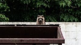Image: Raccoon peeking out above dumpster