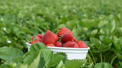 Image: Strawberries in a bucket sitting in a field