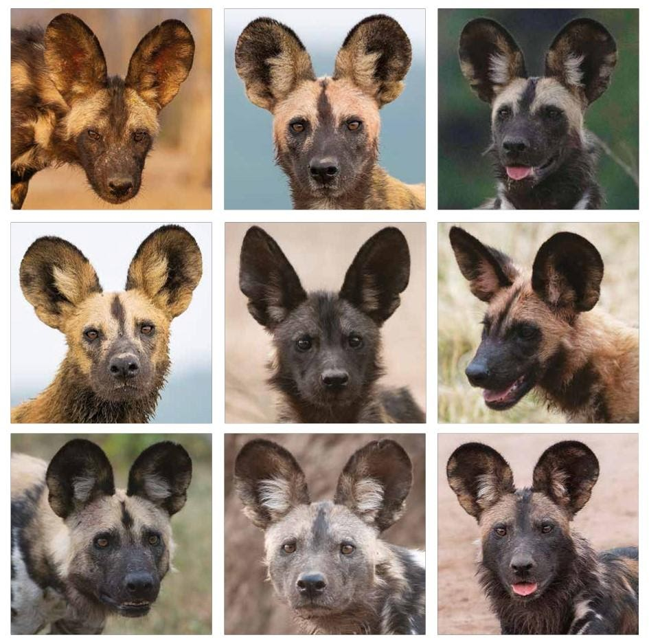 Image: 9 photos of different African wild dogs!