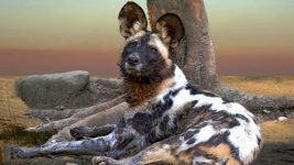 Image: An African Wild Dog, also known as a Painted Wolf, laying down against a tree with the sunset in the background