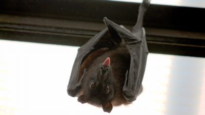 Image: Flying fox hanging upside down with its tongue out