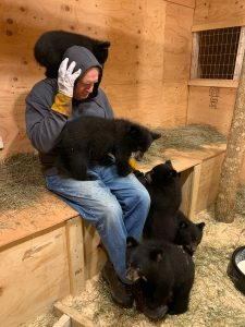Image: Ben Kilham with multiple bear cubs all over him