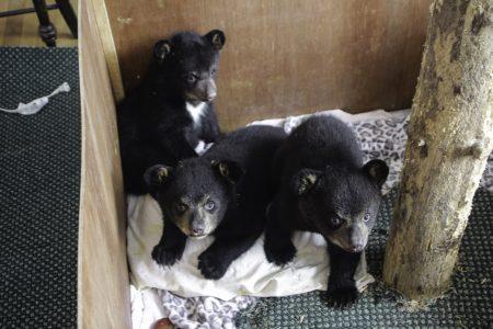 Image: three bear cubs