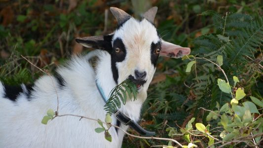 Image: goat eating a fern and looking at the camera
