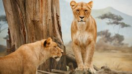 Image: Two lionesses
