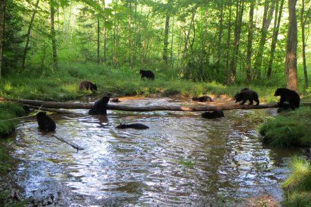 Image: bears swimming