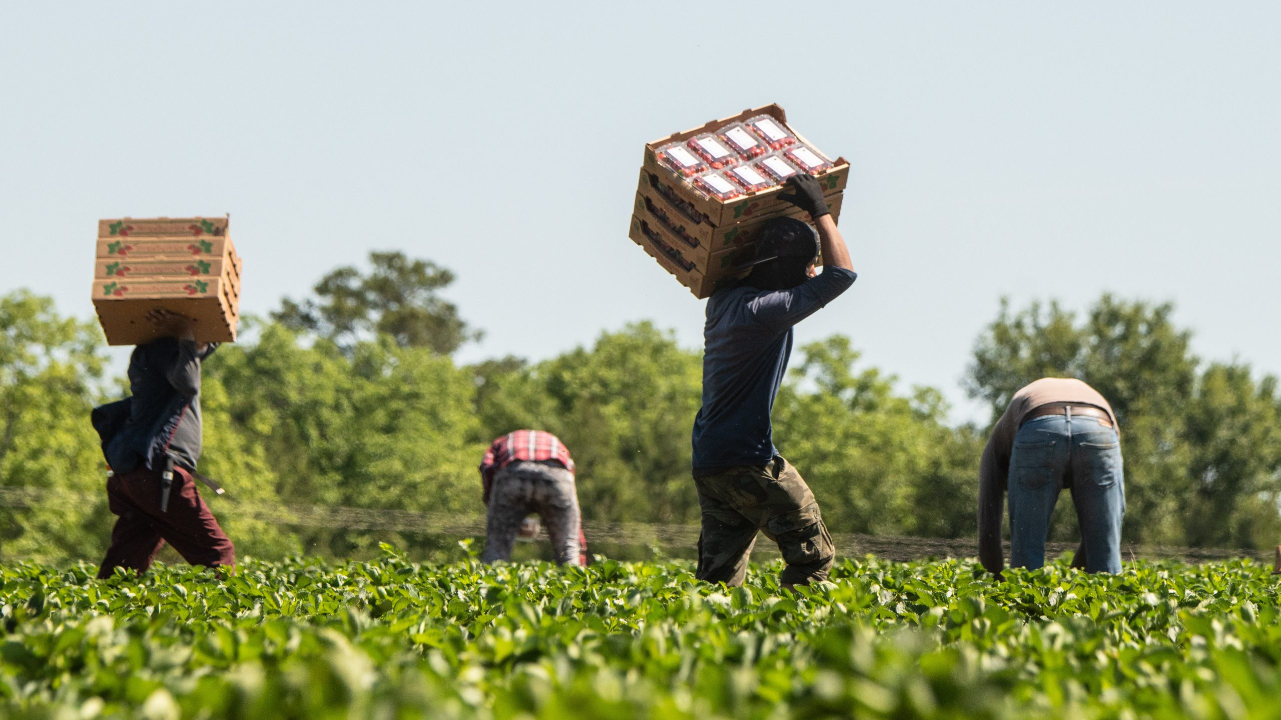 Image: Farm workers in a strawberry field