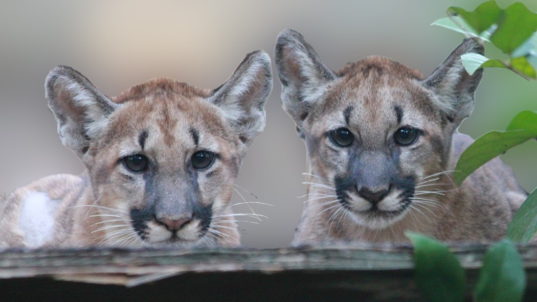 Image: Two panther kittens