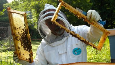 Image: a person holding up honeycomb, inspecting the hive