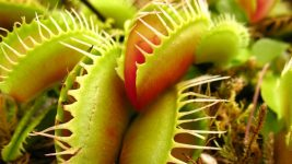Image: close up of a Venus Fly Trap