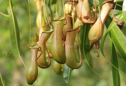 Image: Bunch of pitcher plants