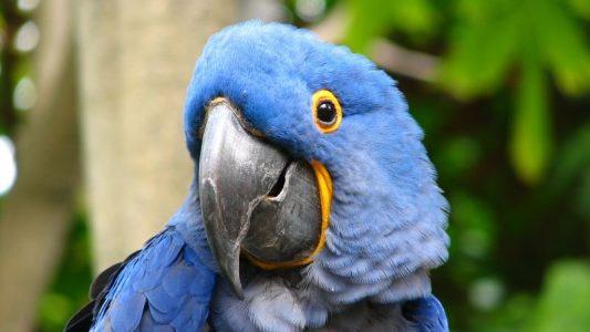 Image: Close up of a cheeky hyacinth macaw