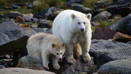 Image: Two white kermode bears by the river