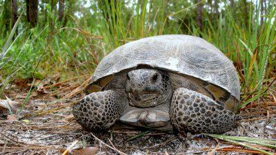 Image: Gopher Tortoise