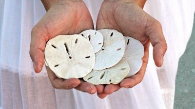 Image: Woman in a white dress holding five sand dollars.