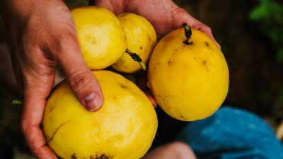 Image: Weathered hands holding some odd yellow vegetables.