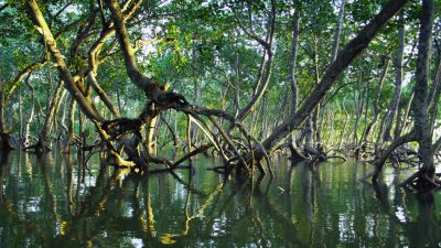 Image: A cluster of mangroves emerging from the salt water in Kenya.